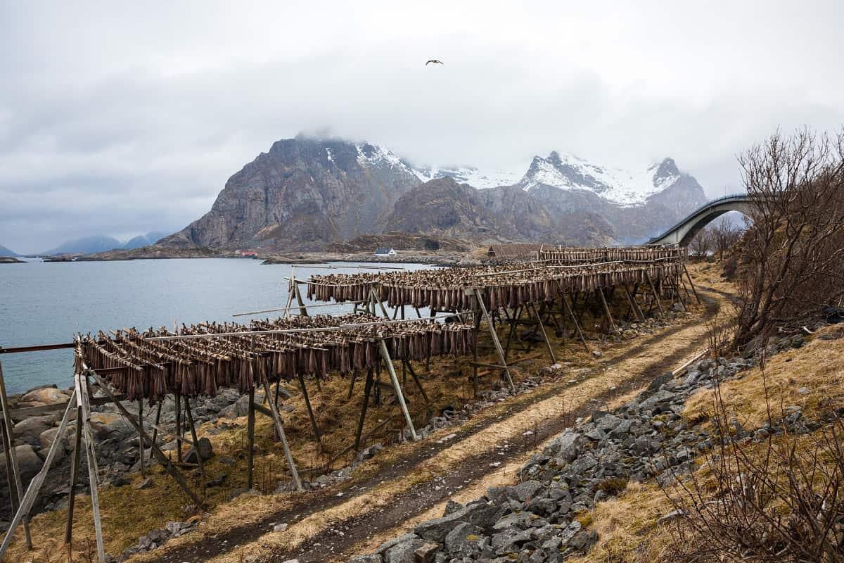 Henningsvær ist auf den Lofoten ein wichtiger Ort für den Fischhandel. Im Frühling gibt es viel Stockfisch zu sehen.
